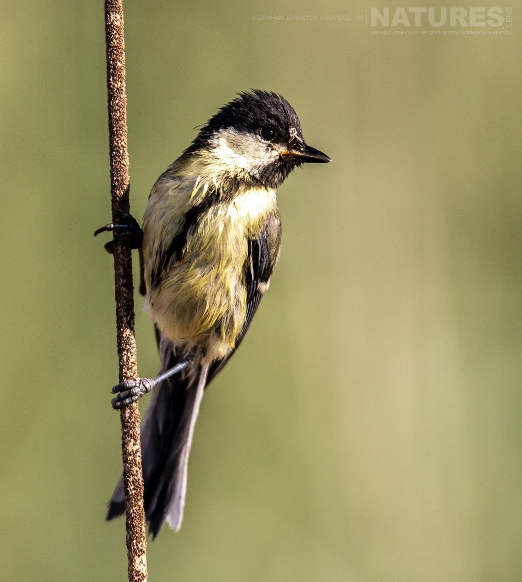 One of the estates many passerines grips on a reed photographed during the NaturesLens Spanish Wildlife Birdlife of Toledo Photography Holiday