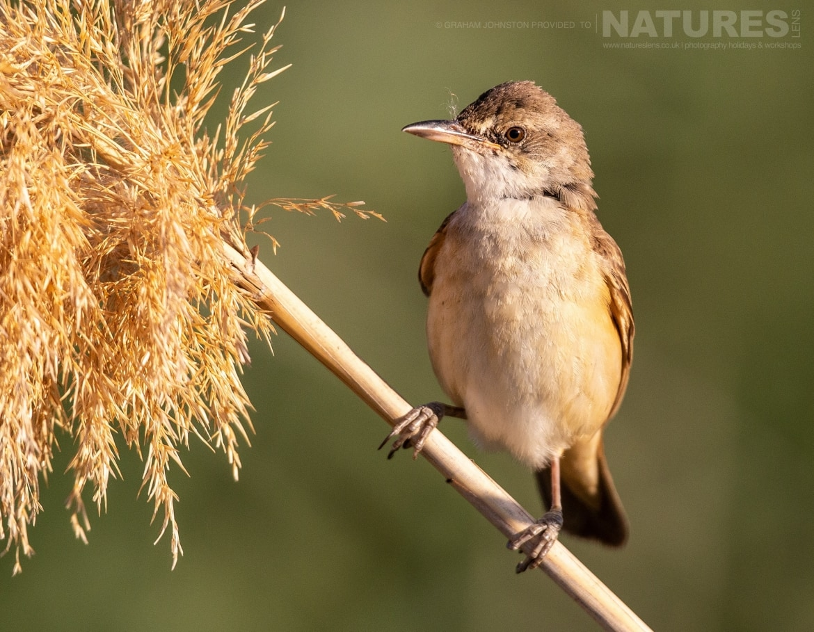 One of the estates many passerines perches on a reed photographed during the NaturesLens Spanish Wildlife Birdlife of Toledo Photography Holiday