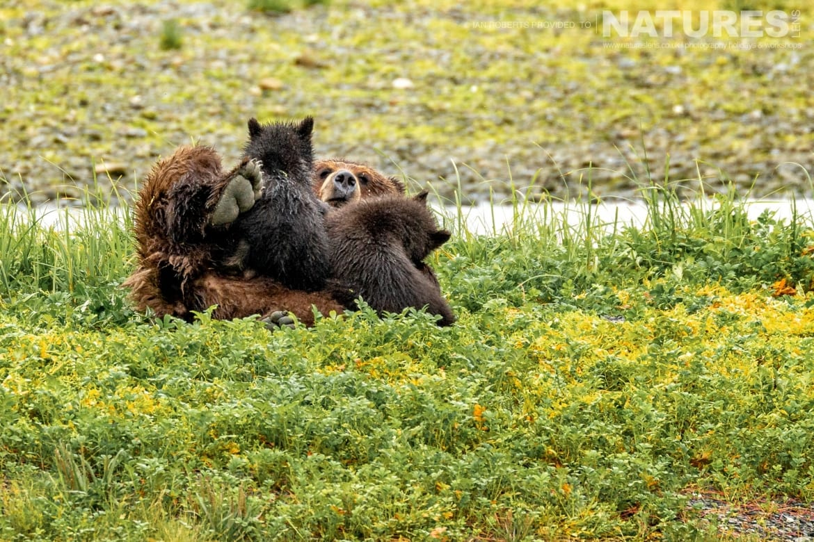One of the family groups of bears at Pack Creek photographed during the Orcas Eagles Whales Glaciers of Alaska Photography Holiday