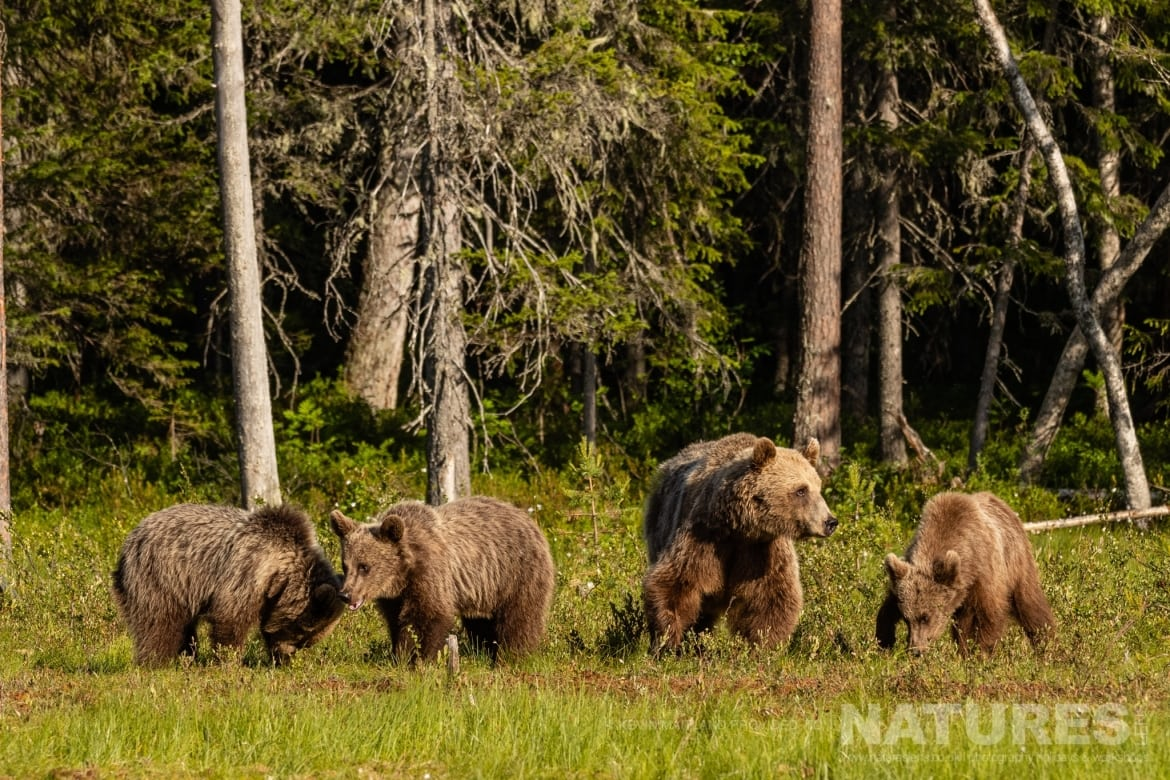 One of the female brown bears with her three cubs at the forests edge image captured during the NaturesLens Majestic Brown Bears Cubs of Finland Photography Holiday