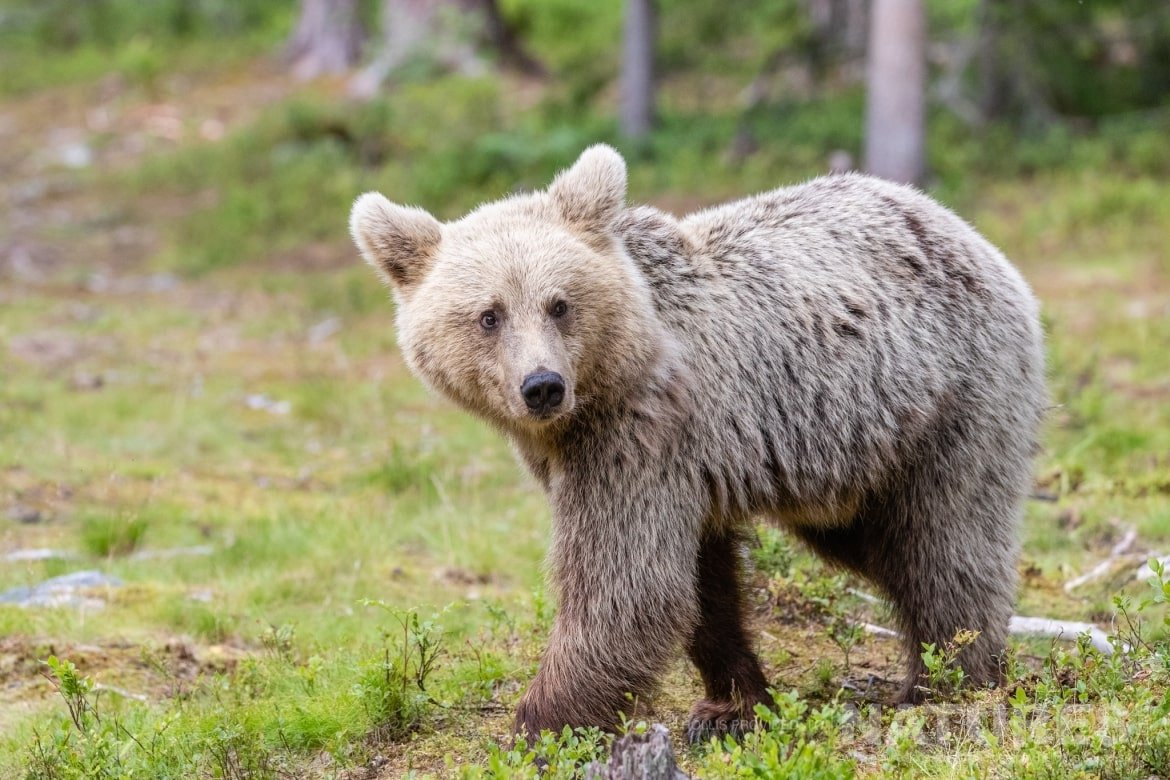 One of the juvenile bears emerges from the forest image captured during the NaturesLens Majestic Brown Bears Cubs of Finland Photography Holiday