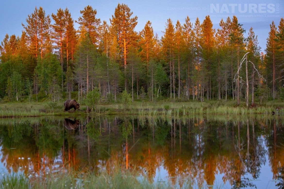 One of the large male bears reflected beautifully in the lake at the edge of the forest image captured during the NaturesLens Majestic Brown Bears Cubs of Finland Photography Holiday