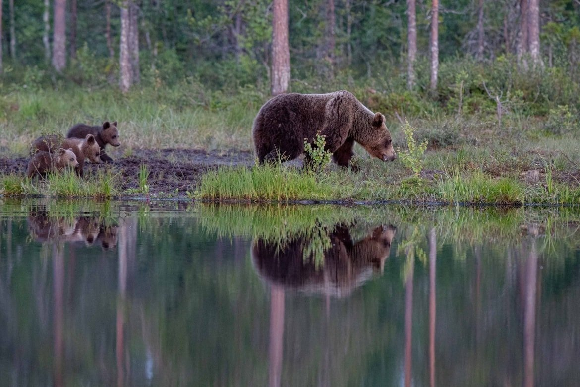 One of the large male bears reflected beautifully in the lake image captured during the NaturesLens Majestic Brown Bears Cubs of Finland Photography Holiday 1