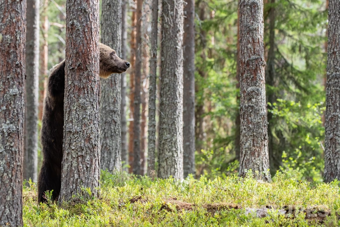 One of the larger adult brown bears attempts to hide behind a tree image captured during the NaturesLens Majestic Brown Bears Cubs of Finland Photography Holiday
