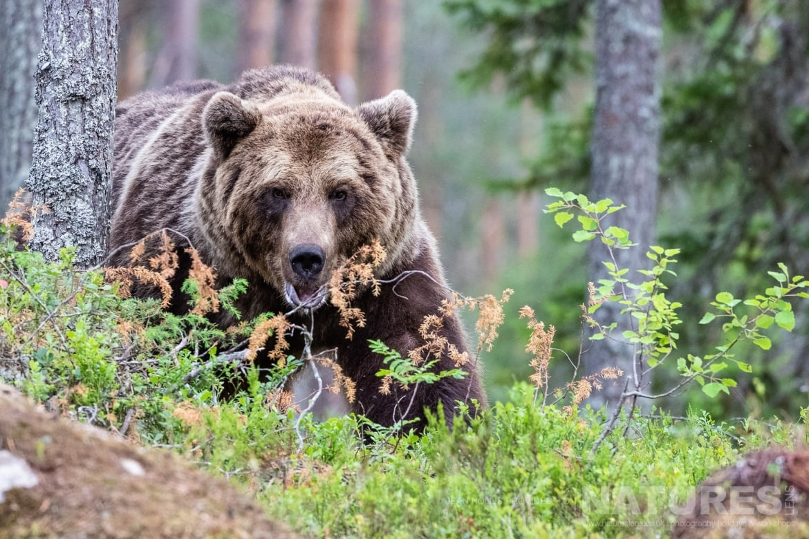 One of the larger adult brown bears emerges from behind a tree image captured during the NaturesLens Majestic Brown Bears Cubs of Finland Photography Holiday
