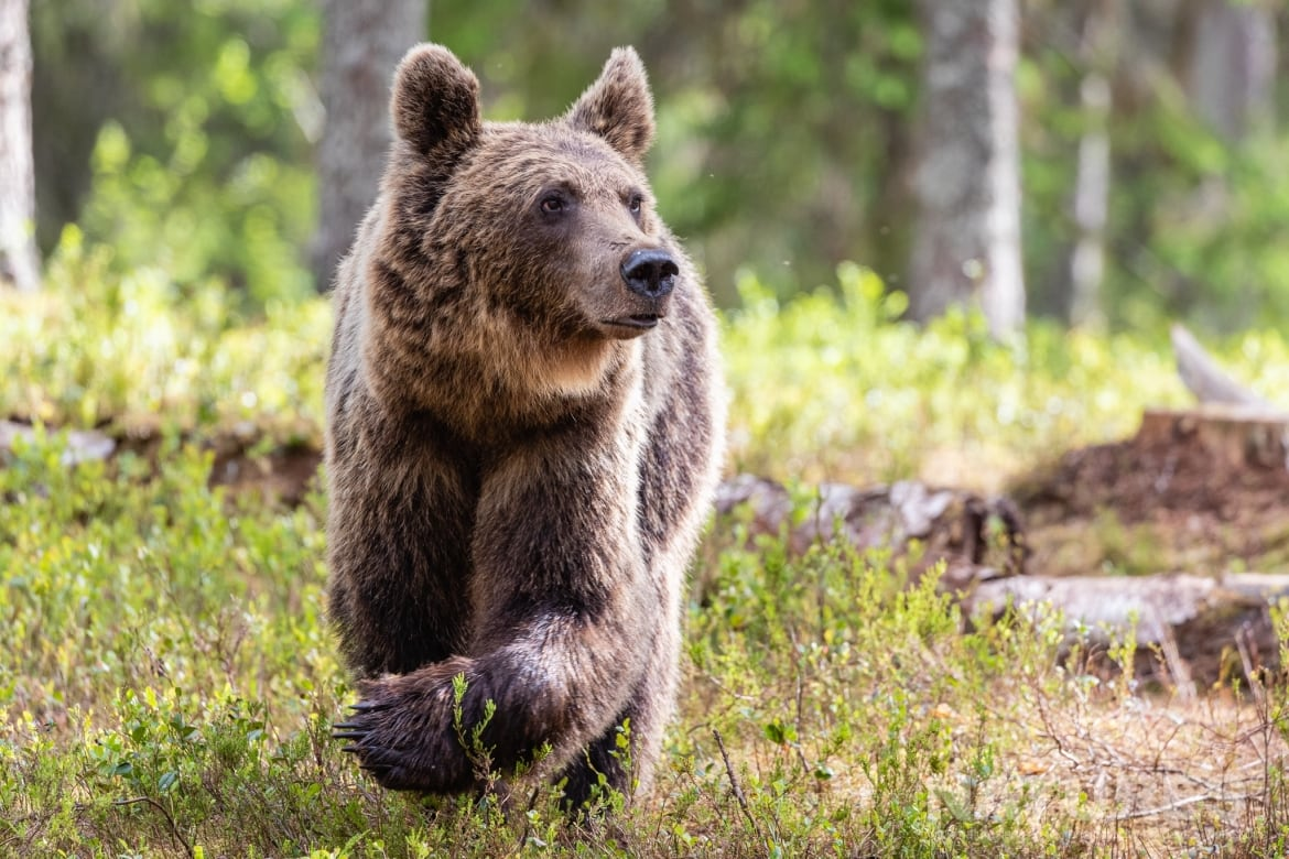 One of the larger adult brown bears emerges from the forest image captured during the NaturesLens Majestic Brown Bears Cubs of Finland Photography Holiday