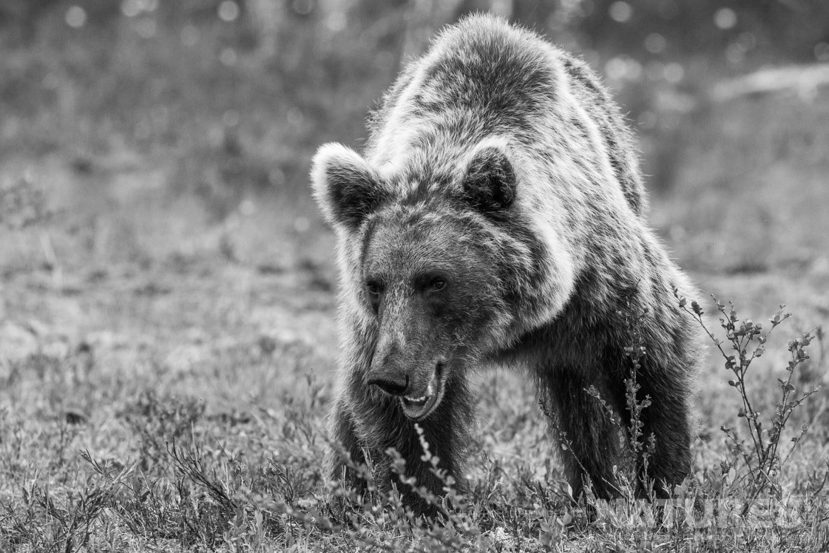 One of the larger adult brown bears emerges from the forest rendered in monochrome image captured during the NaturesLens Majestic Brown Bears Cubs of Finland Photography Holiday