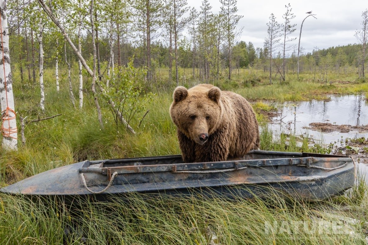 One of the larger adult brown bears investigates a boat on the edge of one of the lakes image captured during the NaturesLens Majestic Brown Bears Cubs of Finland Photography Holiday
