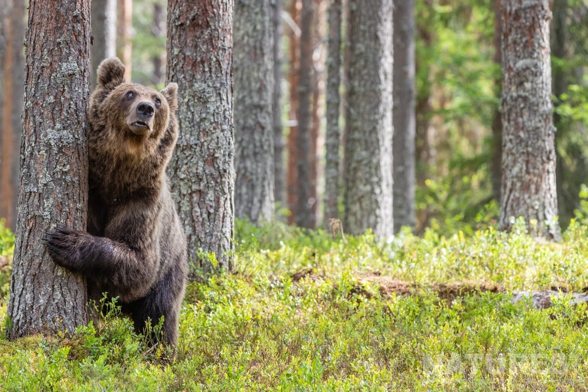 One of the larger adult brown bears looks skyward as an eagle flies overhead image captured during the NaturesLens Majestic Brown Bears Cubs of Finland Photography Holiday
