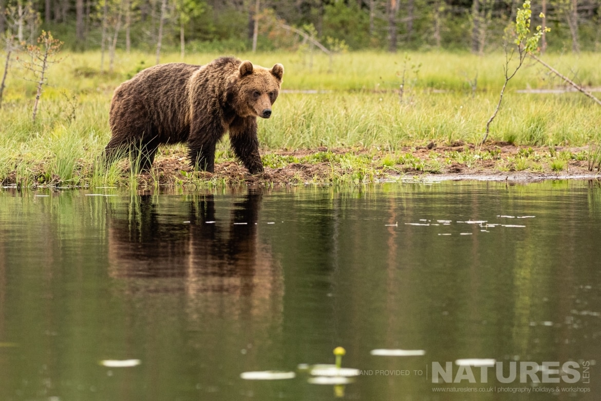 One of the larger adult brown bears reflected whilst he takes pause at the lake edge image captured during the NaturesLens Majestic Brown Bears Cubs of Finland Photography Holiday