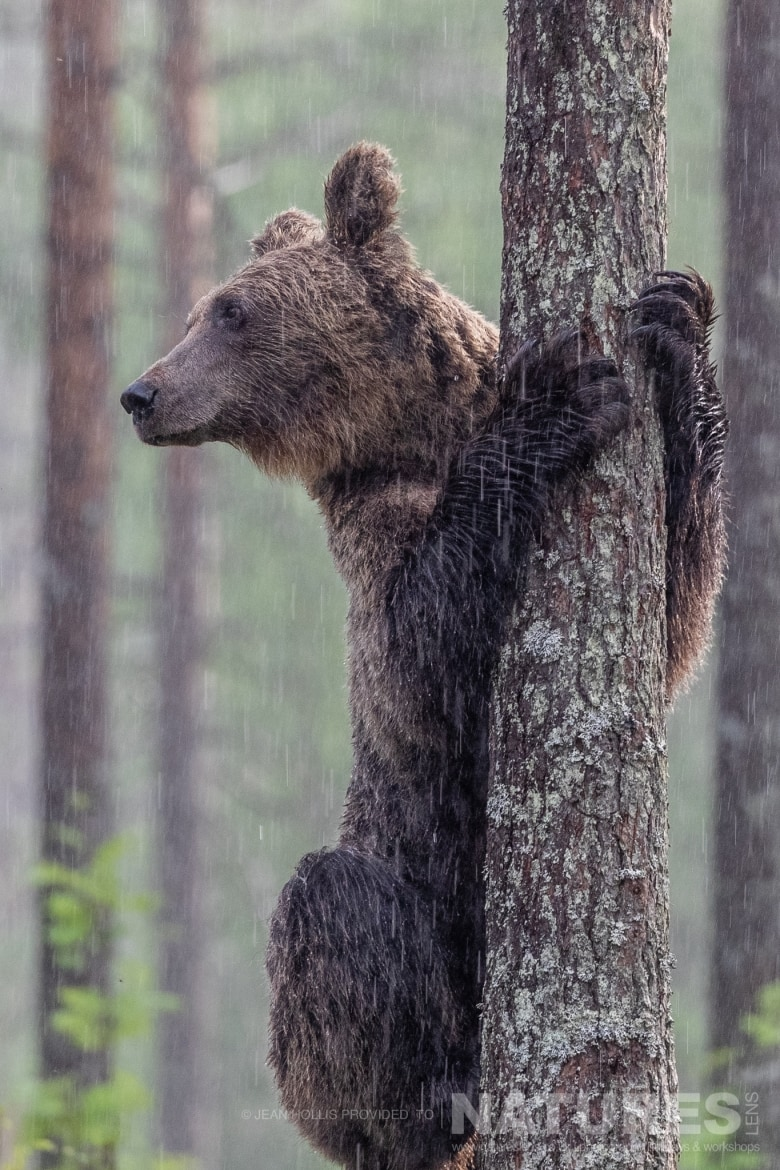 One of the larger adult brown bears stands upright by a tree in the rain image captured during the NaturesLens Majestic Brown Bears Cubs of Finland Photography Holiday
