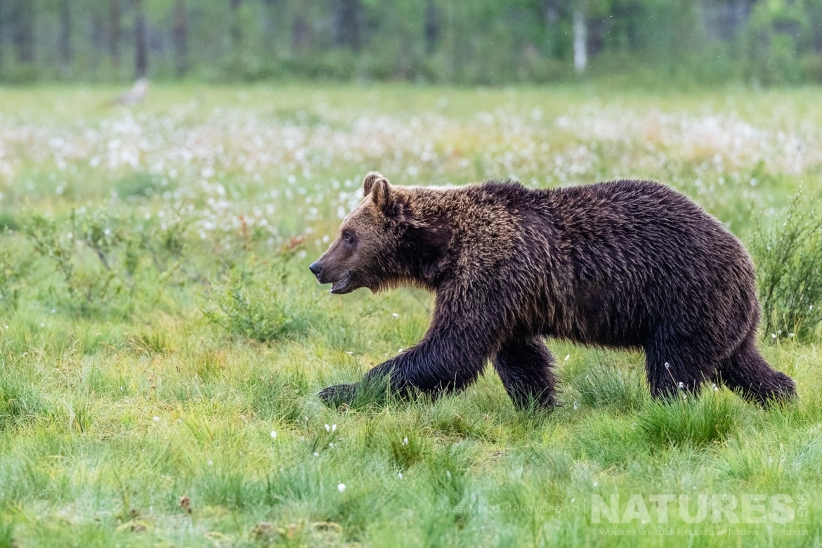 One of the larger adult brown bears strides purposefully across a meadow image captured during the NaturesLens Majestic Brown Bears Cubs of Finland Photography Holiday