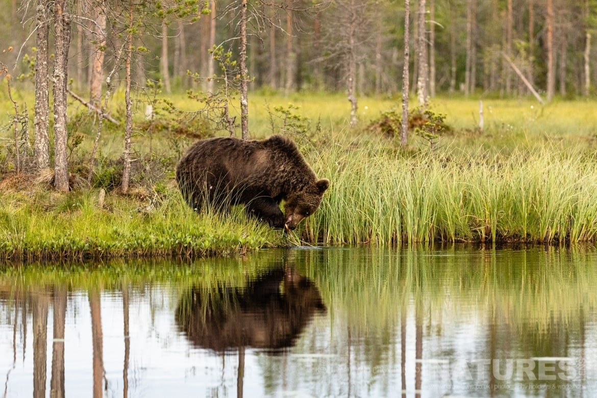 One of the larger bears reflected whilst at the lake edge image captured during the NaturesLens Majestic Brown Bears Cubs of Finland Photography Holiday