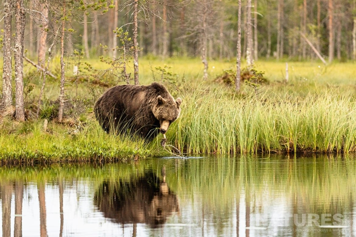 One of the larger brown bears reflected whilst at the lake edge image captured during the NaturesLens Majestic Brown Bears Cubs of Finland Photography Holiday