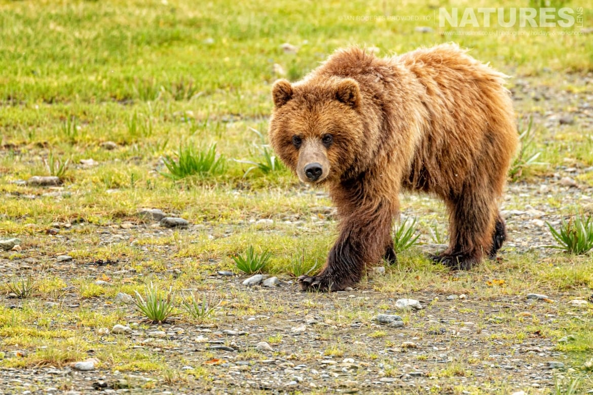 One of the lone bears at Pack Creek photographed during the Orcas Eagles Whales Glaciers of Alaska Photography Holiday
