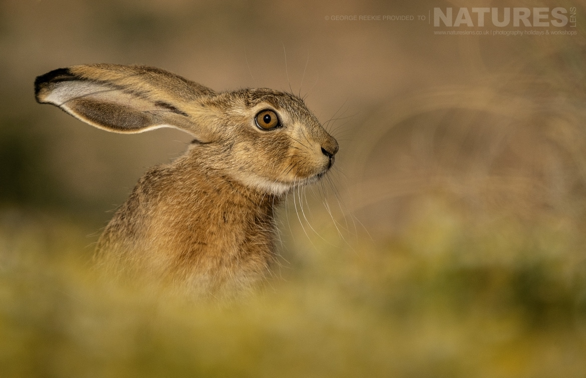 One of the many hares found across the estate photographed during the NaturesLens Spanish Birds of Toldeo photography holiday