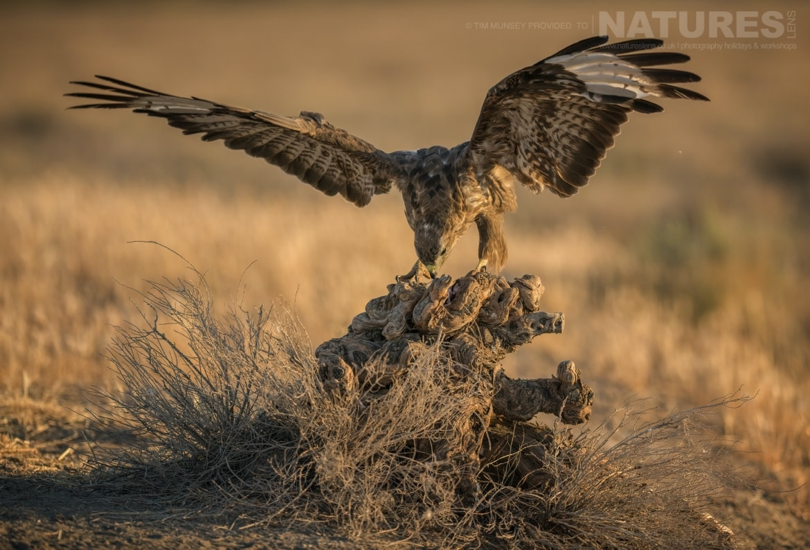 One of the many raptors of the estate lands gently on a perch photographed during the NaturesLens Spanish Wildlife Birdlife of Toledo Photography Holiday