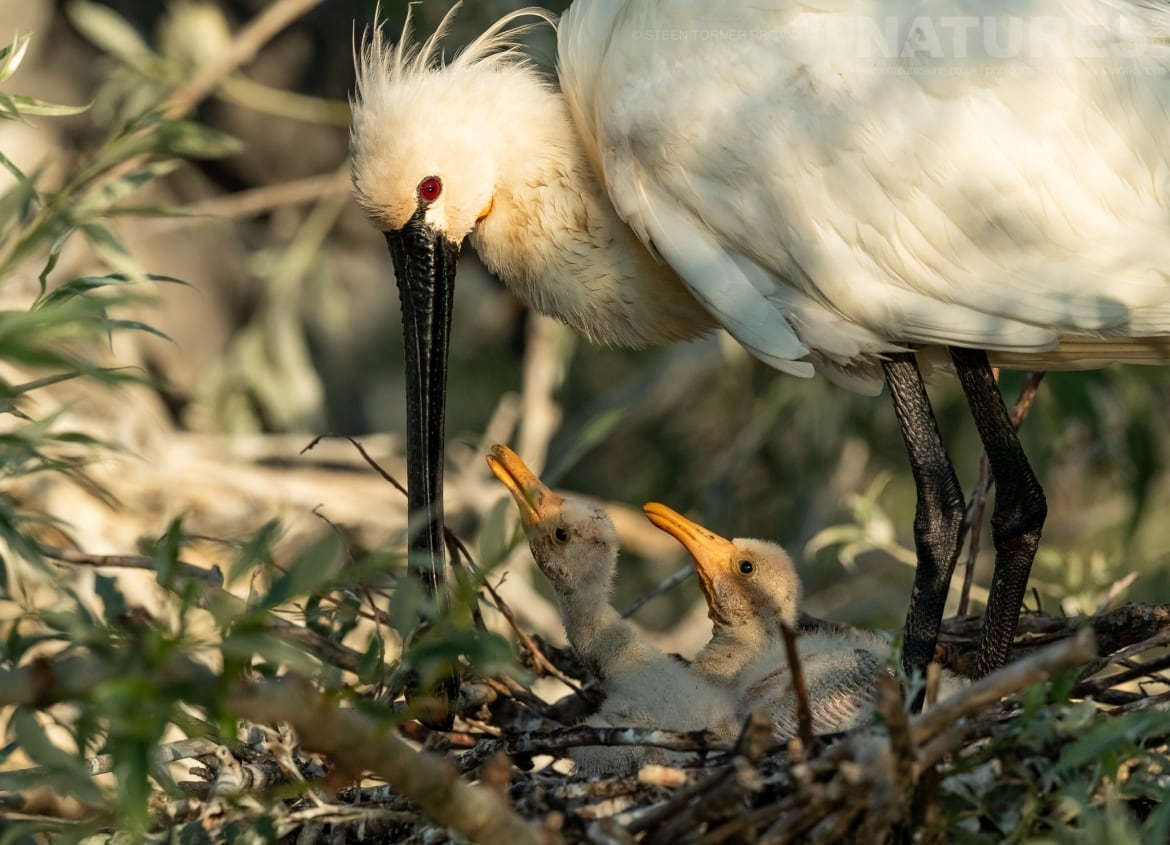 One of the spoonbill nests found in Kerkinis dead forest photographed during the Spring Birds of Kerkini photography Holiday conducted by NaturesLens