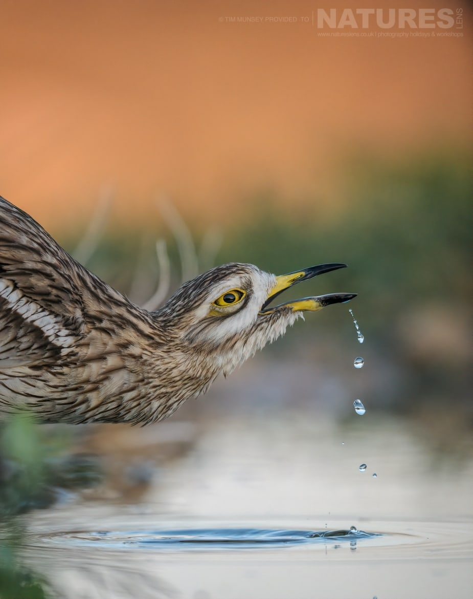 One of the stone curlews drinks from a water hole within the estate photographed during the NaturesLens Spanish Wildlife Birdlife of Toledo Photography Holiday