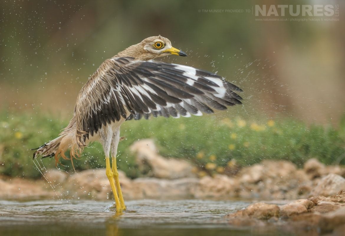 One of the stone curlews shakes the water off after bathing in a water hole within the estate photographed during the NaturesLens Spanish Wildlife Birdlife of Toledo Photography Holiday