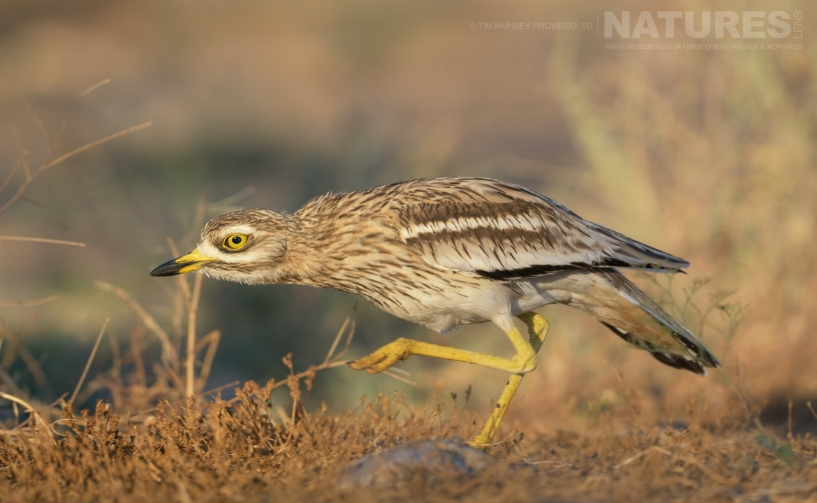 One of the stone curlews strides towards a water hole within the estate photographed during the NaturesLens Spanish Wildlife Birdlife of Toledo Photography Holiday