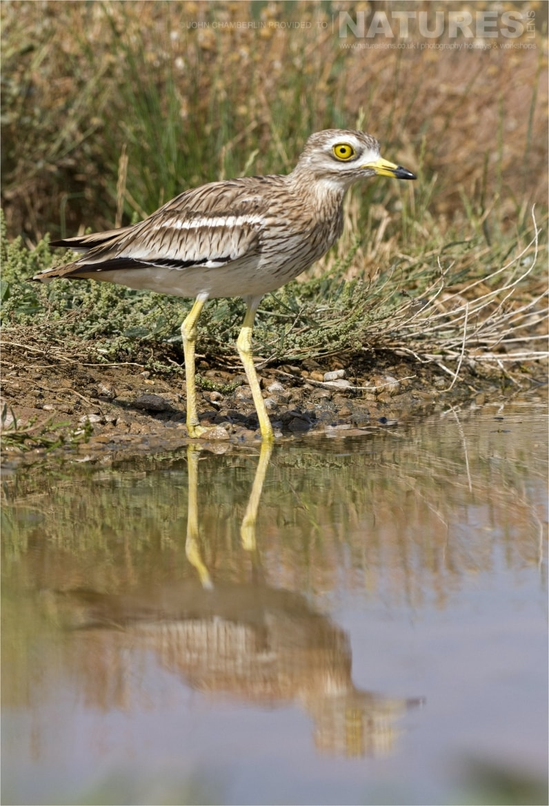 One of the visiting Stone Curlew walks into the drinking pool ooutside the hide photographed during the Spanish Birdlife of Toledo Photography Holiday
