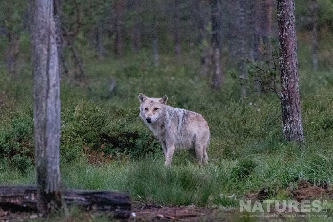 One of the wolves found in the area stands on the edge of the forest image captured during the NaturesLens Majestic Brown Bears Cubs of Finland Photography Holiday
