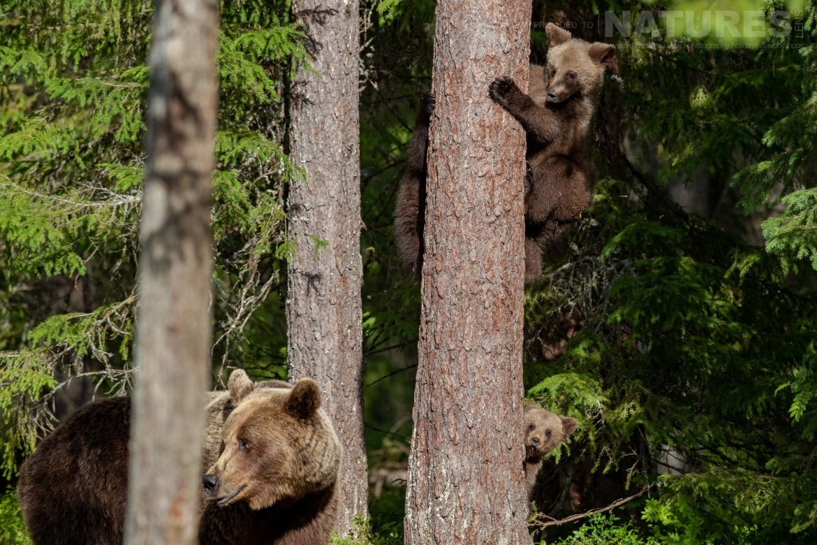 With her brown bear cubs safe in a tree their mother stands guard image captured during the NaturesLens Majestic Brown Bears Cubs of Finland Photography Holiday