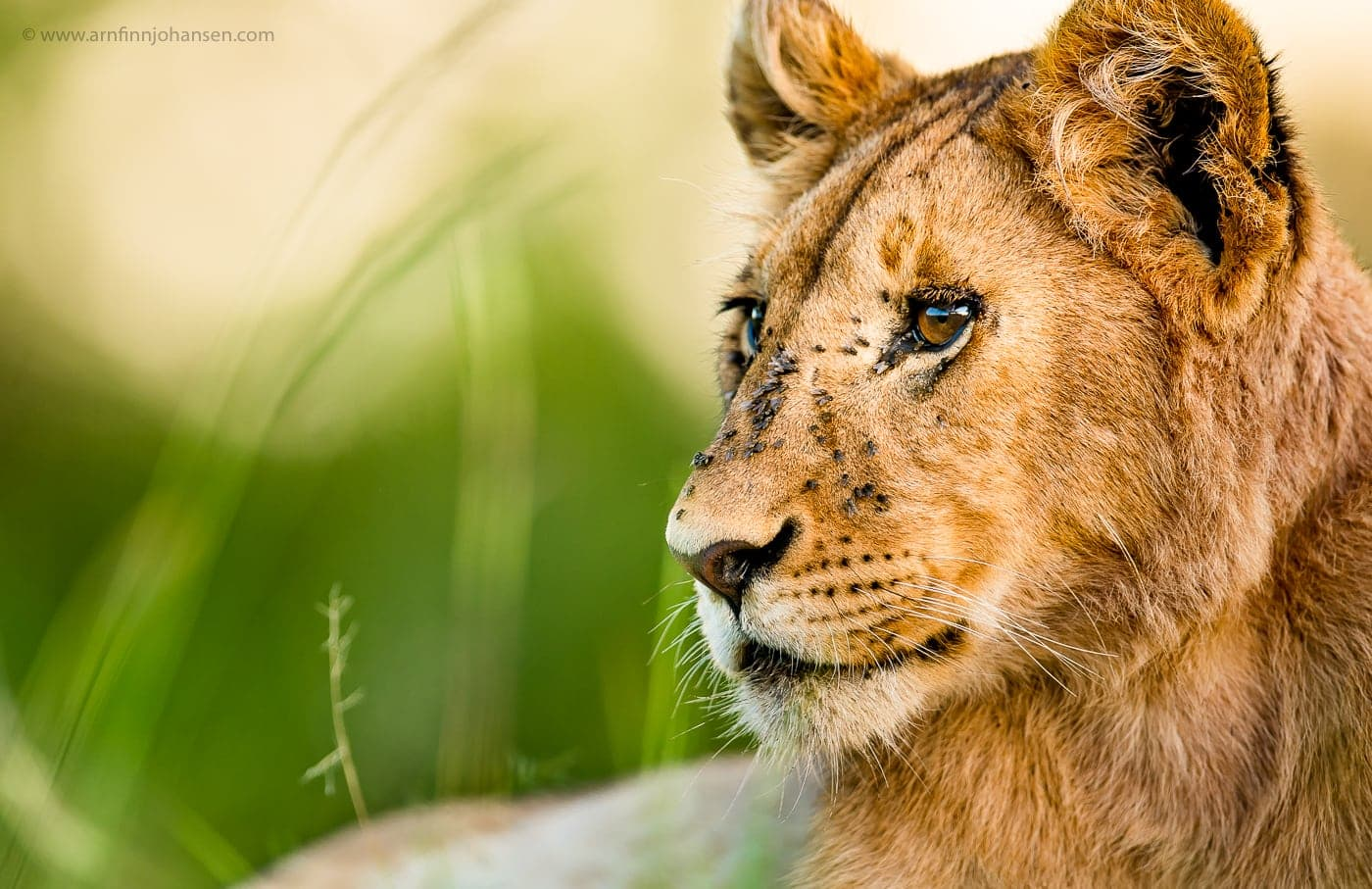 A Lioness Photographed In The Locations To Be Used For The NaturesLens Wildlife Of Africas Maasai Mara Photography Holiday