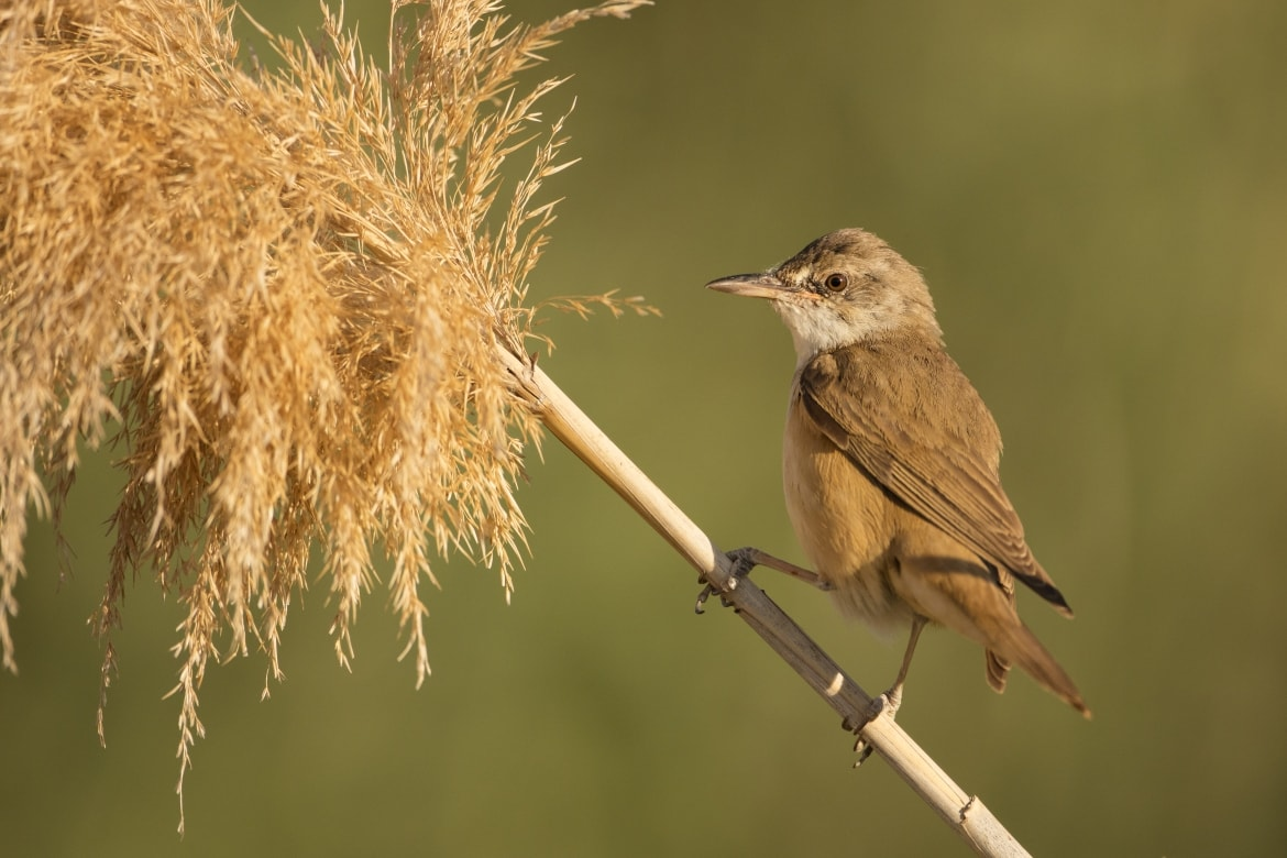 A Great Reed Warbler just one example of the wildlife of Laguna del Taray that may be photographed during our Birdlife of Toledo Photography Holiday