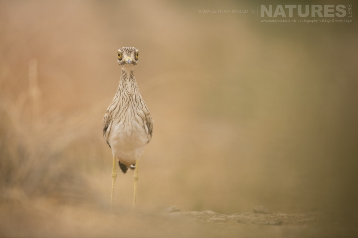 A Stone Curlew on the edge of one of the water holes just one example of the wildlife of Laguna del Taray that may be photographed during our Birdlife of Toledo Photography Holiday