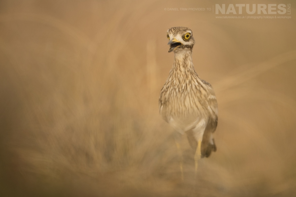 A Stone Curlew strides towards one of the water holes just one example of the wildlife of Laguna del Taray that may be photographed during our Birdlife of Toledo Photography Holiday