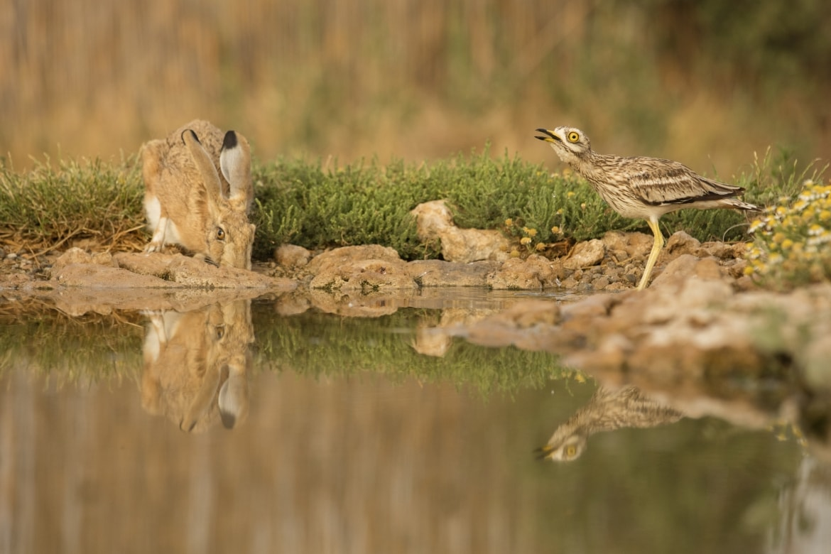 A brown hare along with a stone curlew at one of the water holes just one example of the wildlife of Laguna del Taray that may be photographed during our Birdlife of Toledo Photography Holiday