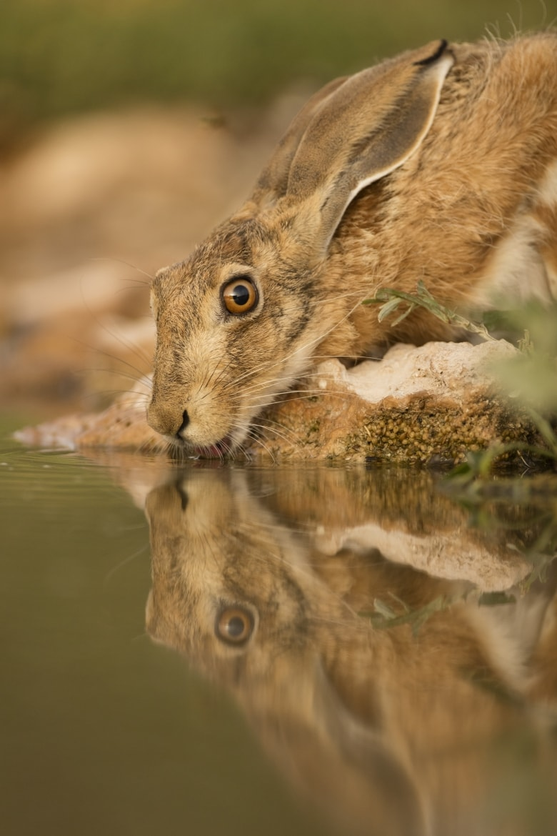 A brown hare drinks from one of the water holes just one example of the wildlife of Laguna del Taray that may be photographed during our Birdlife of Toledo Photography Holiday