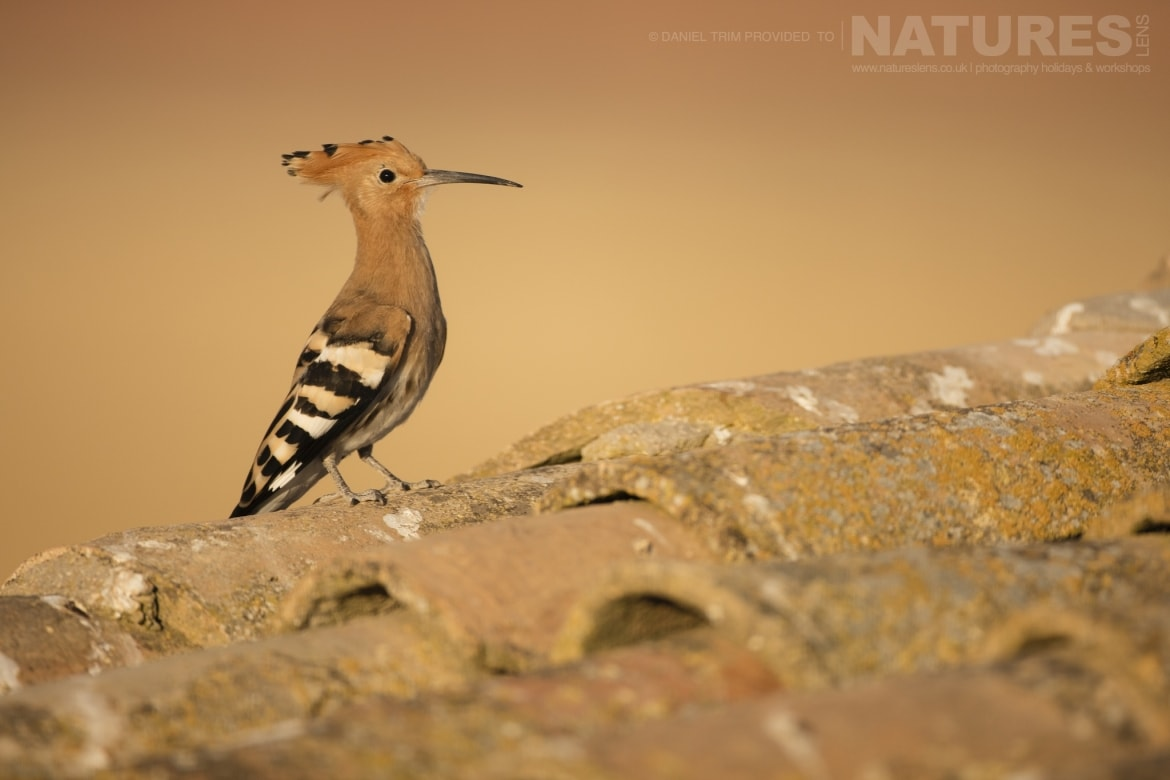 A hoopoe on one of the farm building rooftops just one example of the wildlife of Laguna del Taray that may be photographed during our Birdlife of Toledo Photography Holiday