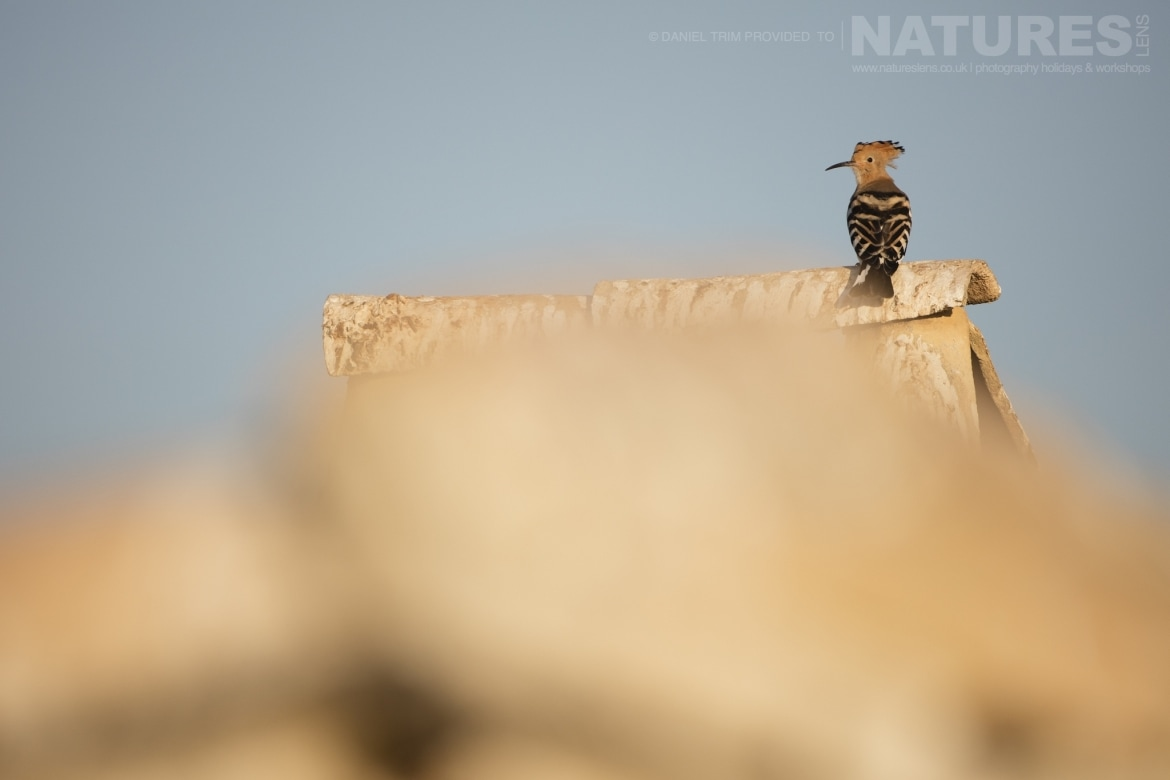 A hoopoe perched on one of the farm building rooftops just one example of the wildlife of Laguna del Taray that may be photographed during our Birdlife of Toledo Photography Holiday