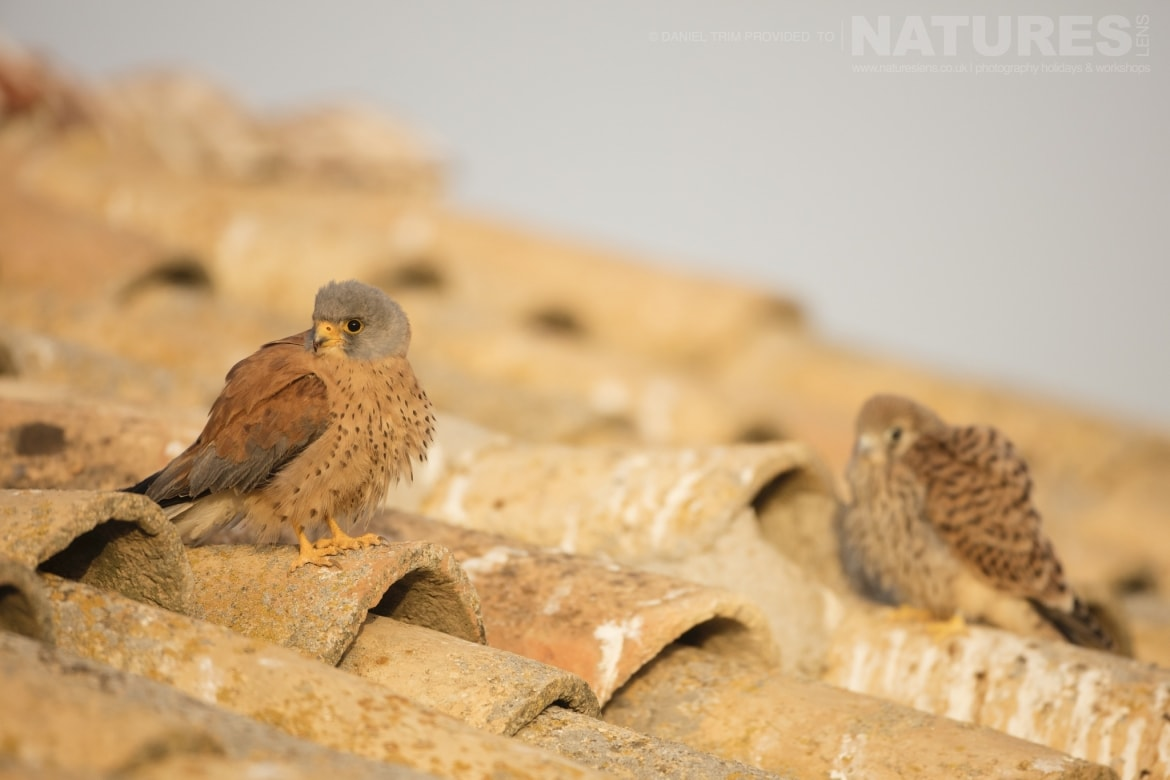 A pair of young lesser kestrels perched on a farm building rooftop just one example of the wildlife of Laguna del Taray that may be photographed during our Birdlife of Toledo Photography Holiday