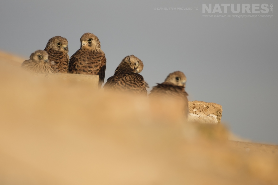 A qunitet of lesser kestrels on one of the farm building rooftops just one example of the wildlife of Laguna del Taray that may be photographed during our Birdlife of Toledo Photography Holiday