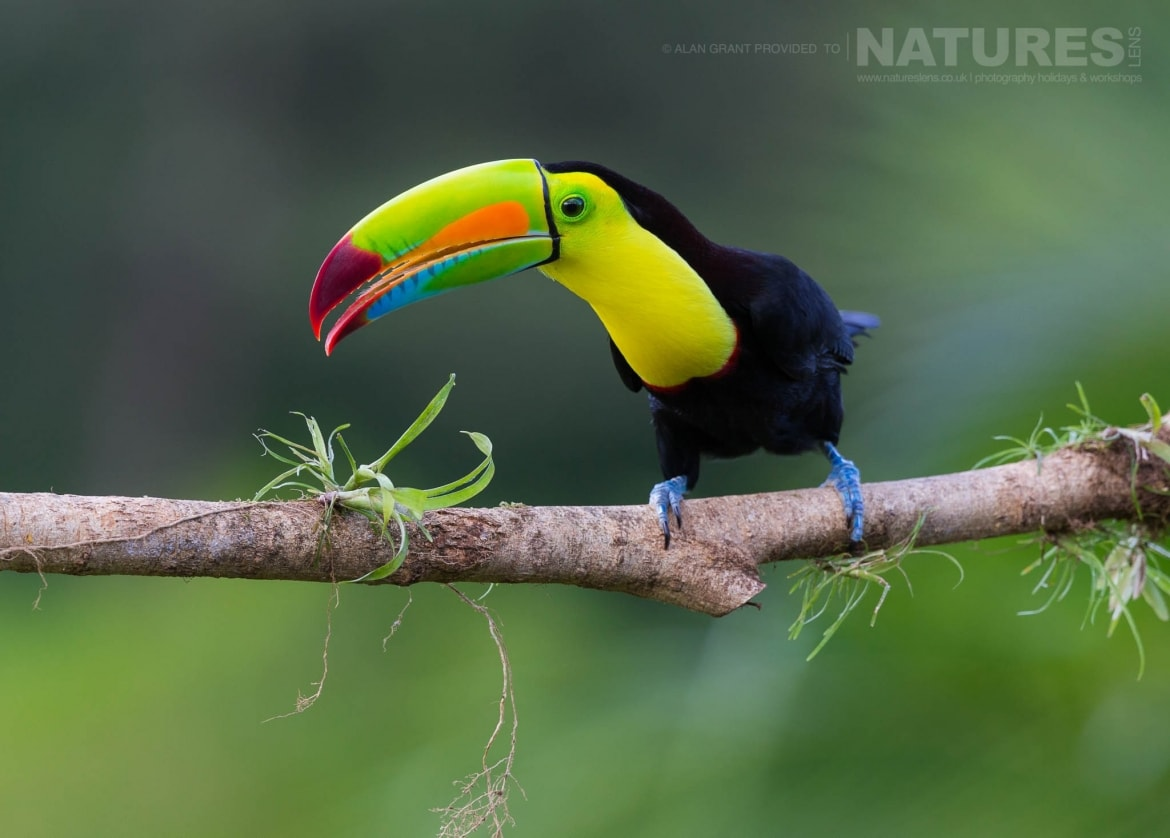 An inquisitive Keel Billed Toucan photographed in Boca Topada during the NaturesLens Wildlife of Costa Rica photography holiday