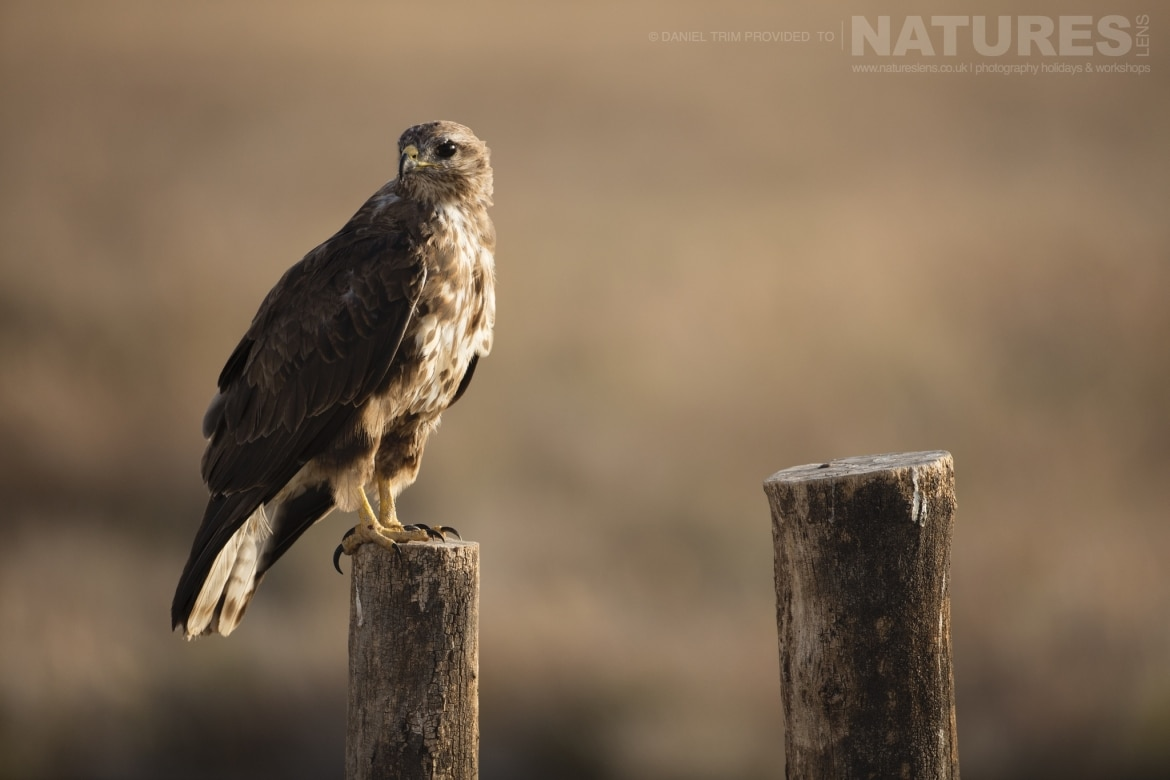 One of the estates buzzards perched on a fence post an example of the wildlife of Laguna del Taray that may be photographed during our Spanish Wildlife Birdlife of Toledo Photography Holiday