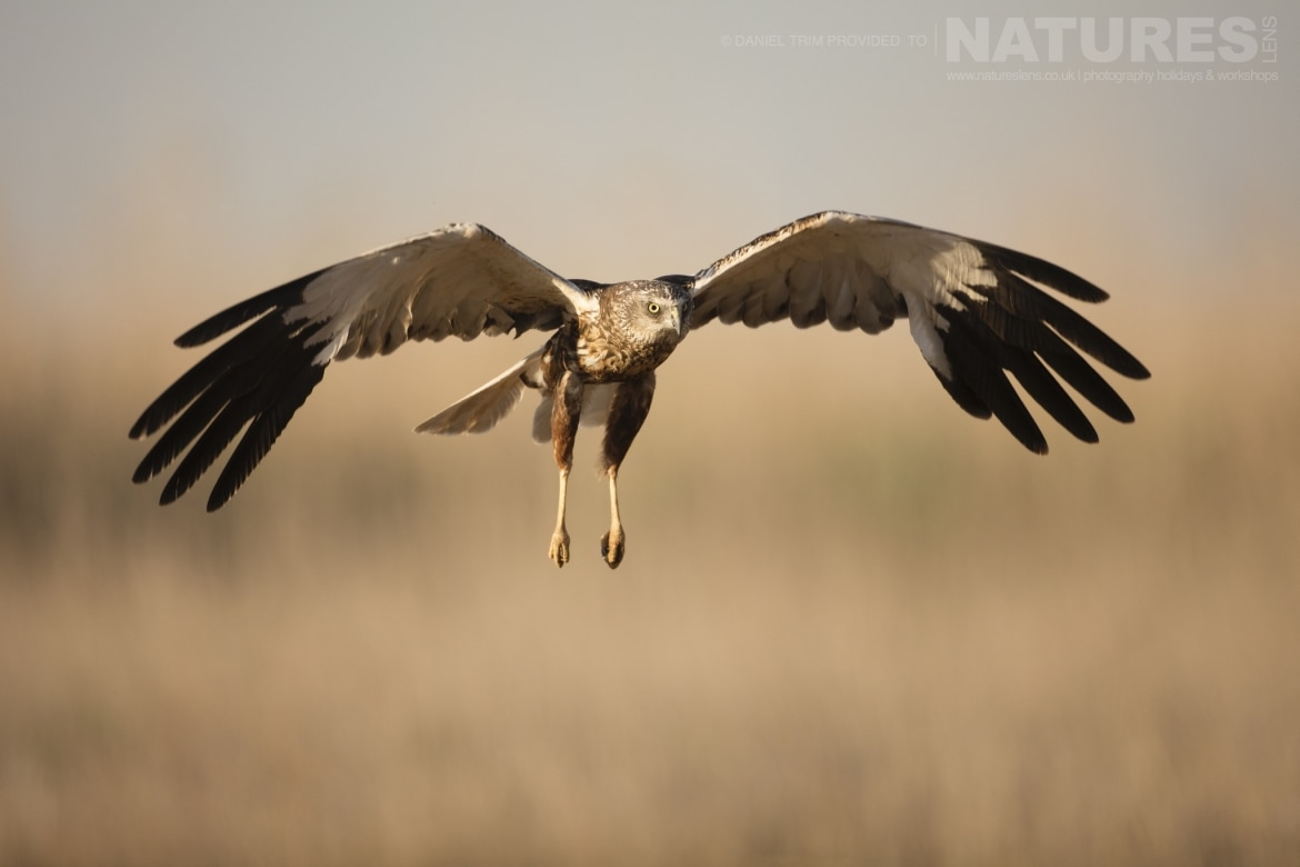 One of the estates marsh harriers glides in to land an example of the wildlife of Laguna del Taray that may be photographed during our Wildlife Birdlife of Toledo Photography Holiday