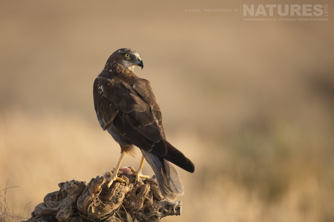 One of the estates marsh harriers perches whilst feeding an example of the wildlife of Laguna del Taray that may be photographed during the NaturesLens Birdlife of Toledo Photography Holiday