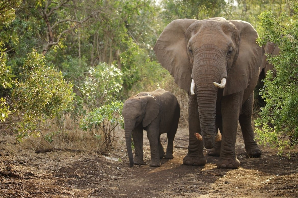 A baby elephant walks alongside an adult elephant captured during the NaturesLens Zimanga Wildlife Hides and Safaris photography holiday