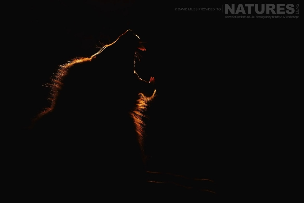 A backlit portrait of a yawning lion photographed during the NaturesLens Zimanga Wildlife Hides and Safaris photography tour