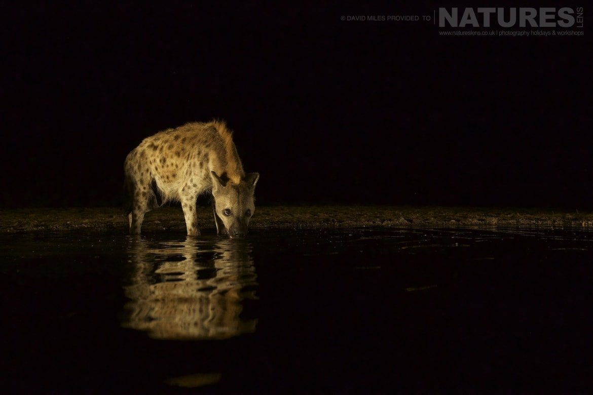 A hyena drinking at night as photographed during the NaturesLens Zimanga Wildlife Hides and Safaris photography tour