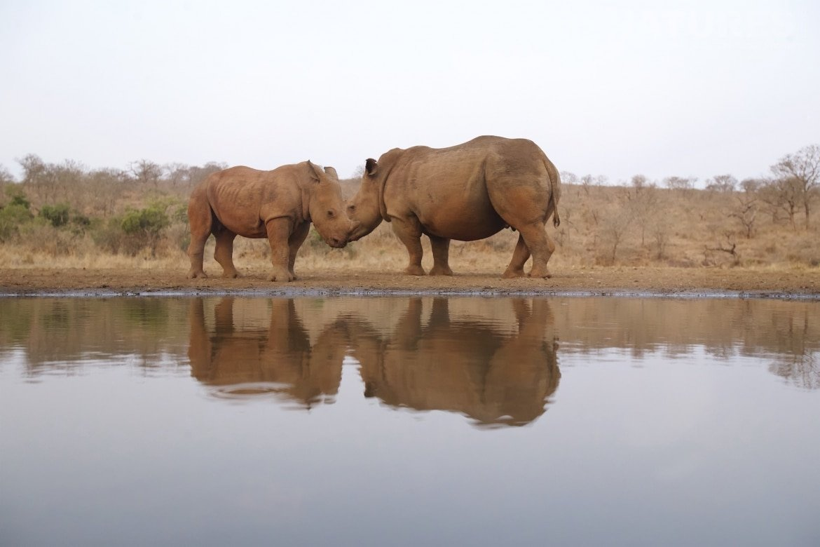 A pair of white rhinos and their reflection as captured on the NaturesLens Zimanga Hides and Safaris photography holiday