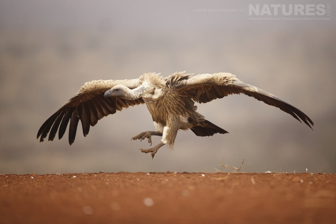 A vulture leaps in mid air photographed during the NaturesLens Zimanga Wildlife Hides and safaris photography tour