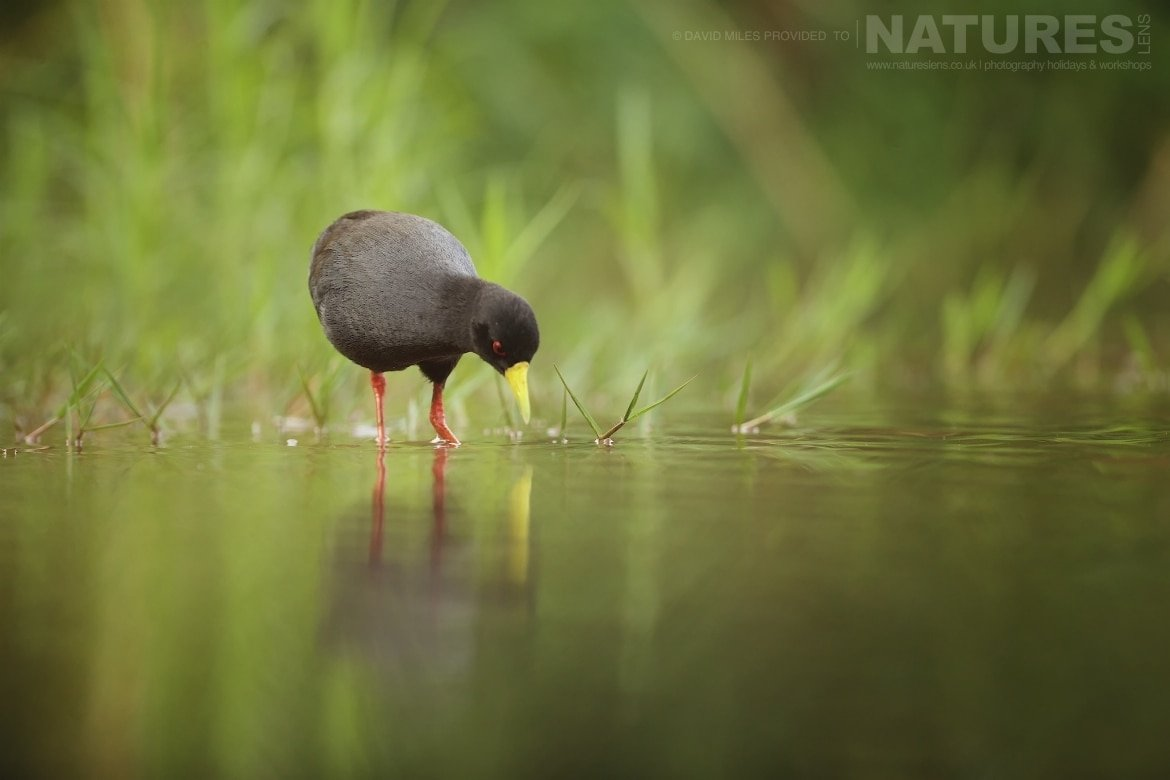 Black crake captured at the Lagoon hide during the NaturesLens Zimanga Wildlife Hides and safaris photography tour
