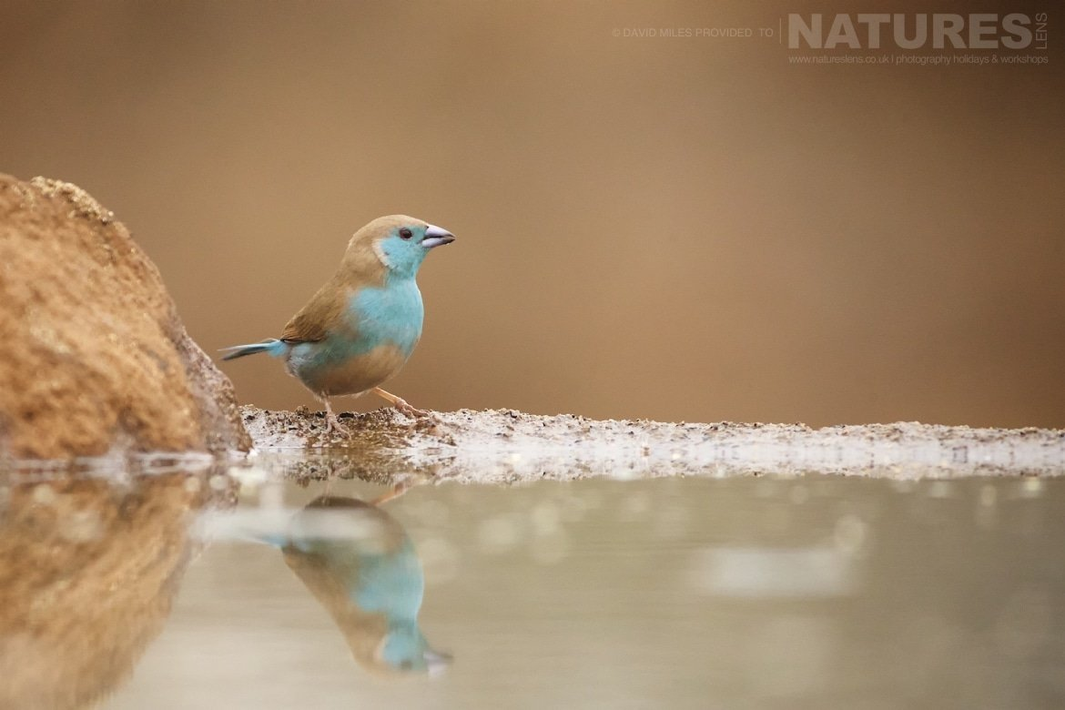 Blue waxbill at the birdbath hide as captured during the NaturesLens Zimanga Wildlife Hides and Safaris photography holiday