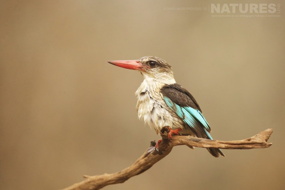 Brown Hooded Kingfisher captured at the Zimanga Wildlife Hides on a tour led by NaturesLens